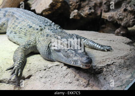 saltwater scaly alligator warming itself on a rock stock, photo, photograph, image, picture, press, - Stock Photo