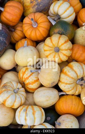 Cucurbita. Pumpkins Squashes and Gourds - Stock Photo