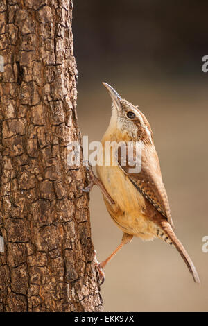 A Carolina wren navigating up a pine tree trunk in search of food. - Stock Photo