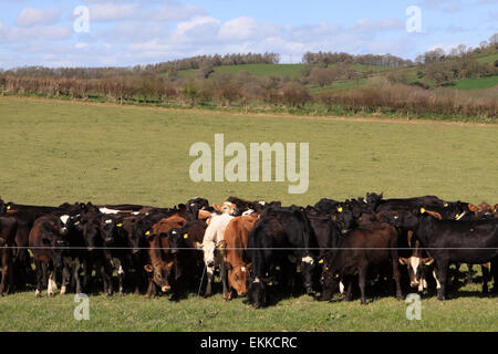 Stansbatch Herefordshire - Despite having a whole field of grass behind them young calves bunch up right against - Stock Photo