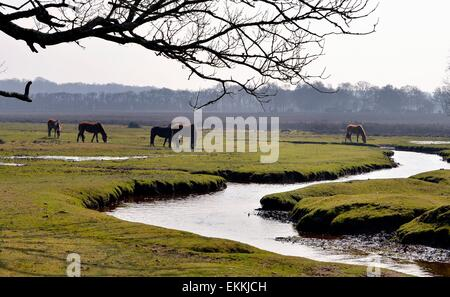 New Forest Ponies Graze at the source of the River Beaulieu - Stock Photo