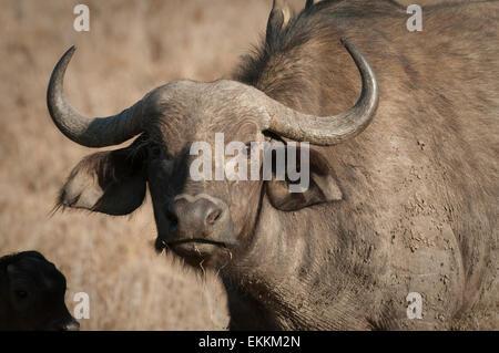Head shot of Cape Buffalo - Stock Photo