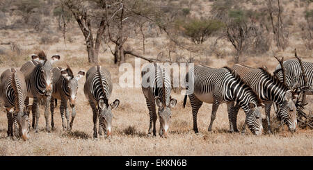 Grevy's zebras grazing - Stock Photo