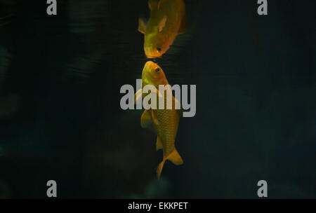 The goldfish (Carassius auratus auratus) is a freshwater fish in the family Cyprinidae of order Cypriniformes. It - Stock Photo