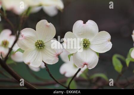 Dogwood Tree Blossoms - Stock Photo
