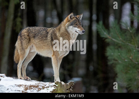 Wolf (Canis lupus) in winter - Stock Photo