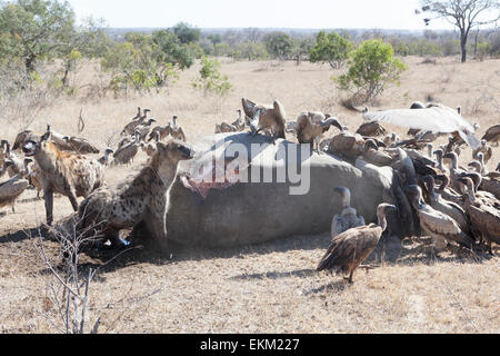 Spotted hyena and white-backed vultures - scavengers feeding on carcass of poached rhino, South Africa - Stock Photo