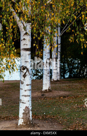 Four silver birch trees in Autumn in Daylesford, Victoria, Australia - Stock Photo