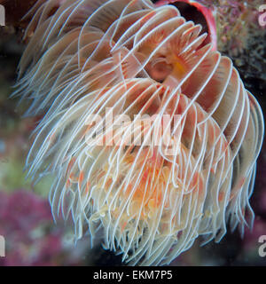 feather duster worm ( Protula magnifica ), Hitotuishi point, Owase, Mie, Japan - Stock Photo
