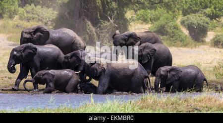 Parade of elephants enjoy the water of the Chobe River in Chobe National Park, Botswana - Stock Photo