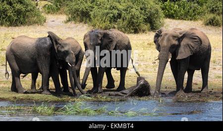 Elephants enjoying the water at Chobe River in Chobe National Park Botswana - Stock Photo