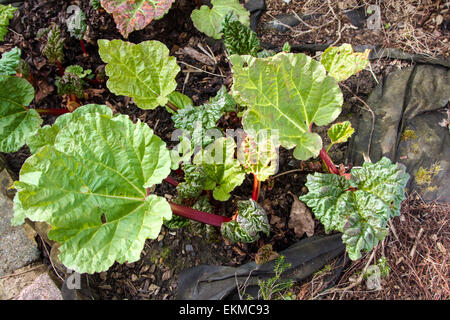 'The start of a new year' New rhubarb stalks in the spring sunshine in a Surrey Garden - Stock Photo