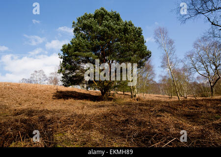 Solitary conifer on Cannock Chase - Stock Photo