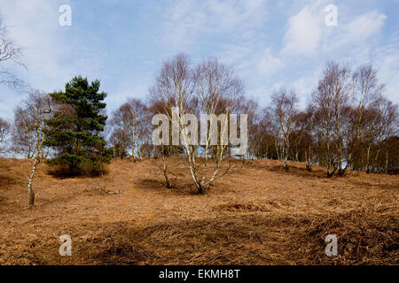 Silver Birch and conifer on Cannock Chase - Stock Photo