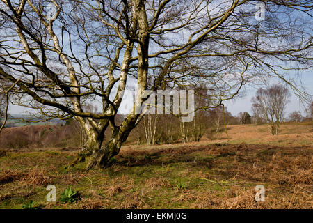 Silver Birch and heathland on Cannock Chase - Stock Photo