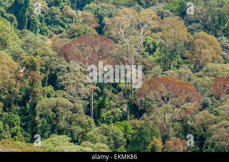 View of the Borneo rainforest trees, Malaysia - Stock Photo