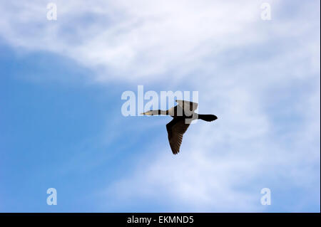 A black bird duck with wings spread is flying amongst the clouds and blue sky. - Stock Photo