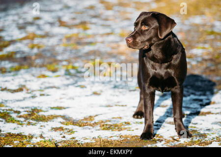 Beautiful Brown Dog Lab Labrador Retriever Staying Outdoor In Spring - Stock Photo