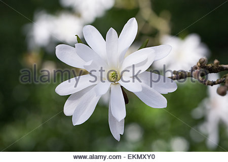 Magnolia stellata 'Royal Star' flowering in Spring. - Stock Photo