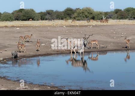 African animals together at waterhole, Etosha National Park, Namibia - Stock Photo