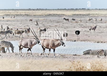 Oryx and Zebras at a waterhole in Etosha Park, Namibia - Stock Photo