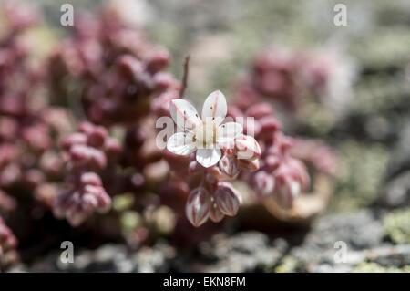 Stonecrop, Sedum brevifolium, growing on granite rocks. Photo taken in Guadarrama Mountains, La Cabrera, Madrid, - Stock Photo