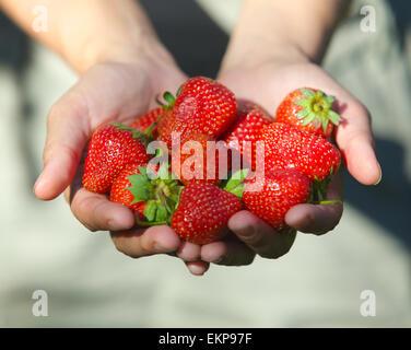 hands holding strawberries - Stock Photo