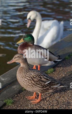 Pair of Mallard Ducks  (Anas platyrhynchos), and a Mute Swan (Cygnus olor), background. Awaitng food handouts from - Stock Photo