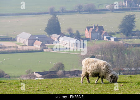 One Poll Dorset sheep grazing on Haye's Down hill in English  countryside in South Downs National Park. West Dean - Stock Photo