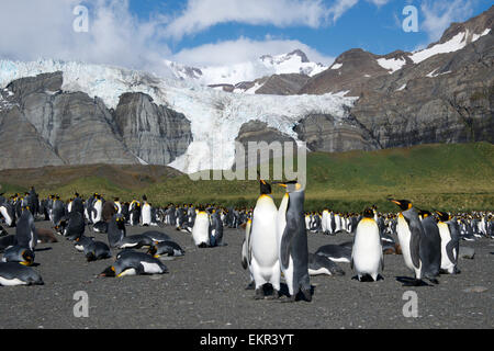 King Penguin colony and glacier Gold Harbour South Georgia - Stock Photo