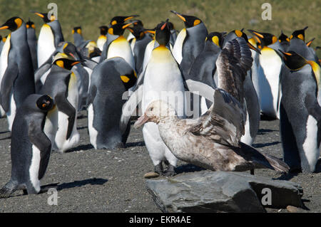 Southern Giant Petrel in King Penguin colony Gold Harbour South Georgia - Stock Photo