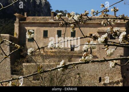 Cherry blossom old manor house  mallorca Majorca Orient village - Stock Photo