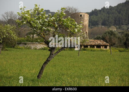 Old windmill ruined mill near Valldemossa cherry blossoms - Stock Photo