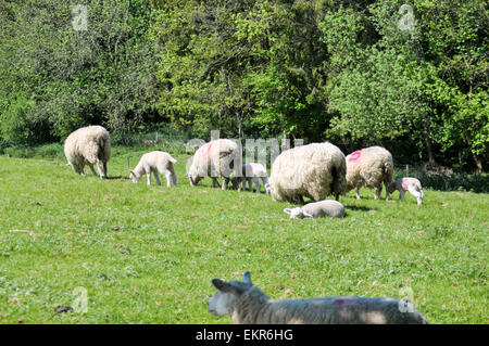 ewes with their lambs in the sunny countryside of the cotswolds - Stock Photo