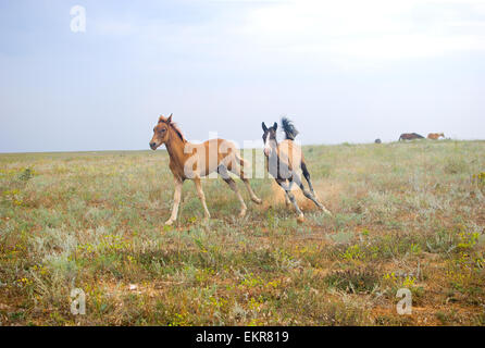 Beautiful horses in the field, two foals playing and running in the filed - Stock Photo