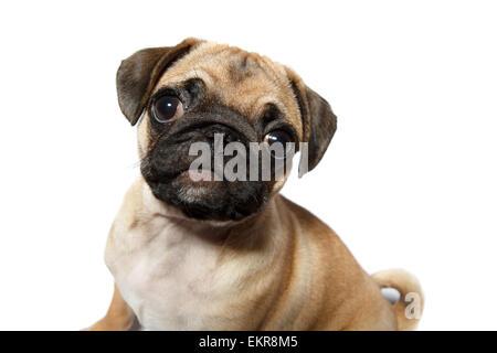 Pug puppy - Stock Photo