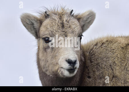 A close up animal portrait of a baby Bighorn Sheep, - Stock Photo