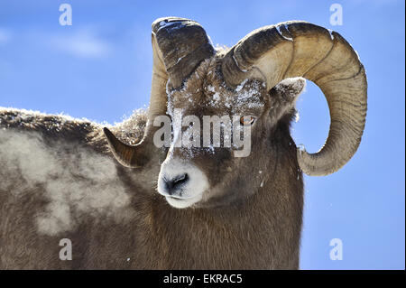 A close up portrait image of a rocky mountain bighorn ram , - Stock Photo
