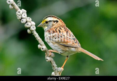 White Throated Sparrow  - Zonotrichia albicollis - Stock Photo