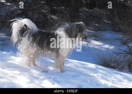 Shawni without her pack standing in snow along Del Agua Trail in Sandia Mountains of New Mexico - USA - Stock Photo