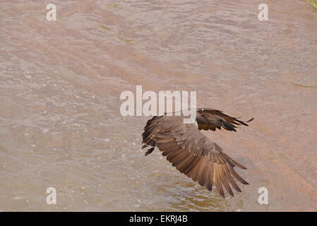 Hamerkop bird flying over water with outstretched wings in world famous Kruger National Park, Mpumalanga, South - Stock Photo