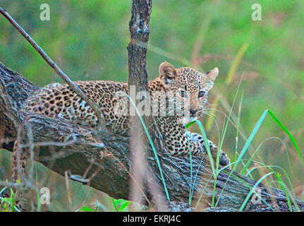 Teeny leopard cub sitting on branch in world famous Kruger National Park, Mpumalanga, South Africa. - Stock Photo