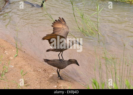 Hamerkop birds trying to mate in world famous Kruger National Park, Mpumalanga, South Africa. - Stock Photo