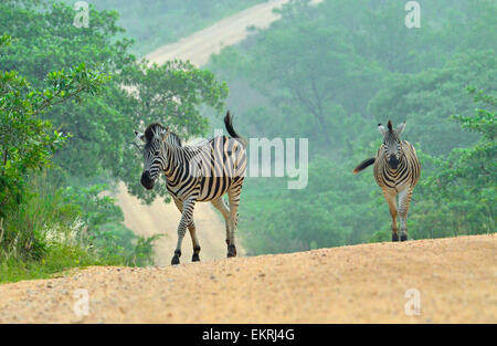 Two zebras crossing road in world famous Kruger National Park, Mpumalanga, South Africa. - Stock Photo