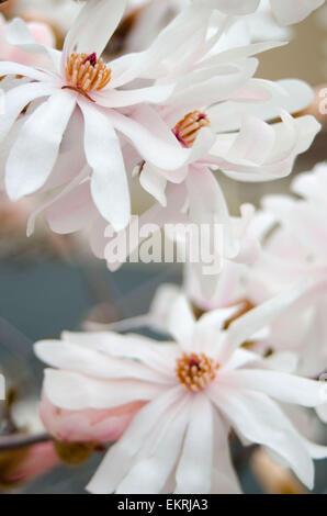 Magnolia Star bush - Stock Photo
