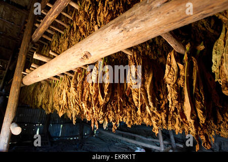 Tobacco plants drying in a barn in Vinales,Cuba - Stock Photo
