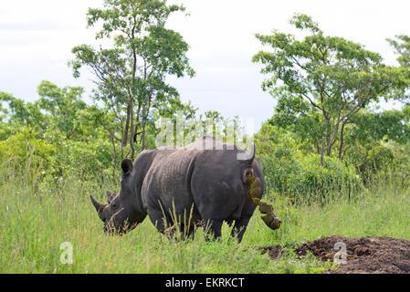 White rhino, Ceratotherium simum, defecating onto rhino midden in world famous Kruger National Park, Mpumalanga, - Stock Photo