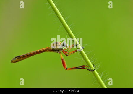 Skinny robberfly hanging from green stem in world famous Kruger National Park, Mpumalanga, South Africa. - Stock Photo