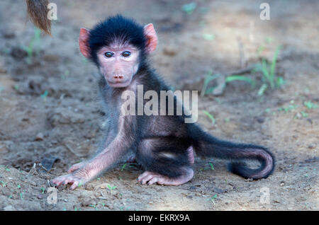 Baby chacma baboon, Papio ursinus, playing on ground in Kruger Park, South Africa. - Stock Photo