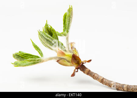 Knospe,Bud,Trieb,Triebspitze,Shoot,Young Shoot,Aesculus hippocastanum,Rosskastanie,Horse-chestnut,Conker tree - Stock Photo